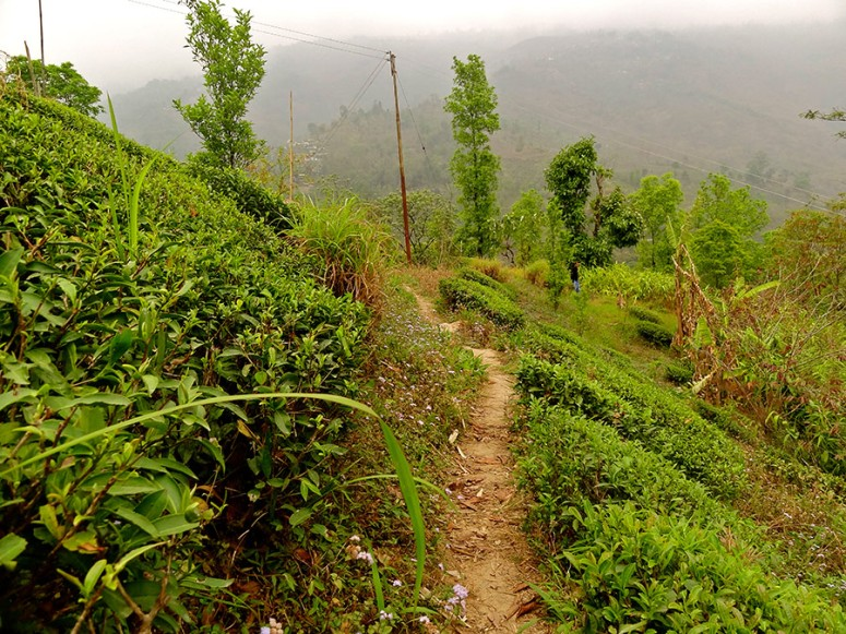 tea-bushes-at-the-farm